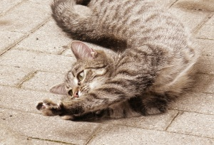 Stretching_cat